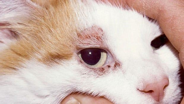 Признаки атопического дерматита у кошек на голове