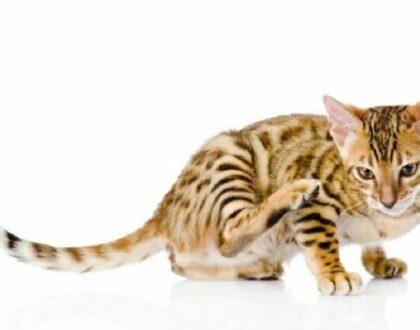 Атопический дерматит у кошек