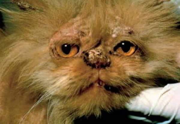 Лишай у кошек (дерматофитоз, микроспория)