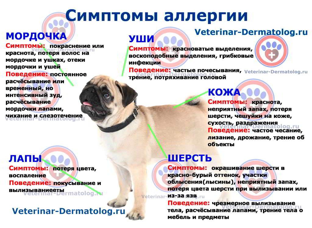 Симптомы и признаки аллергии у собак