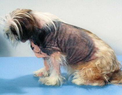 Пищевая аллергия и ее роль при атопическом дерматите у собак?