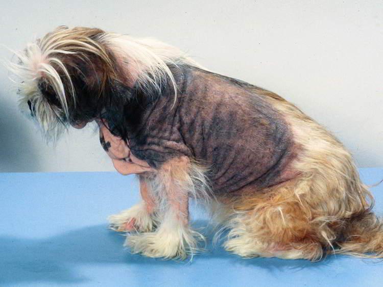 Атопический дерматит и пищевая аллергия у собак