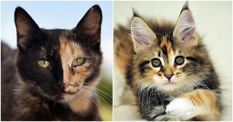 Цвет шерсти при лечение атопического дерматита у кошек