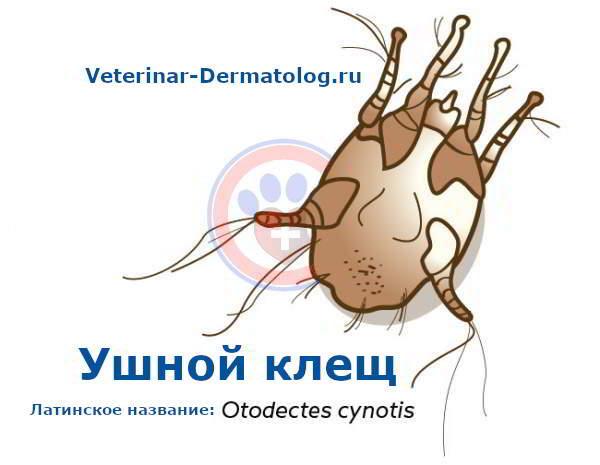 Отодектоз: ушной клещ у собак и кошек