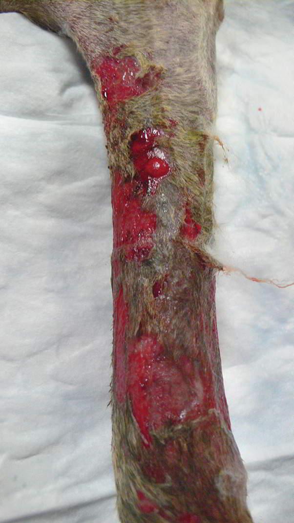 Фото васкулита у собак на коже
