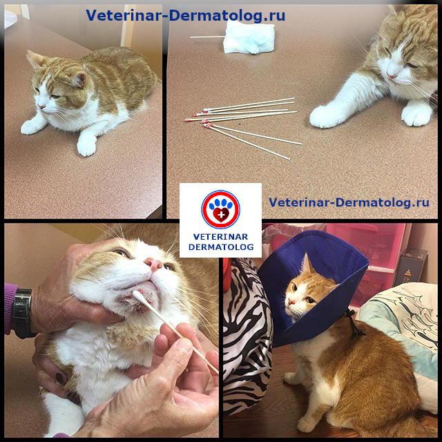 Лечение прыщей и акне у кошек