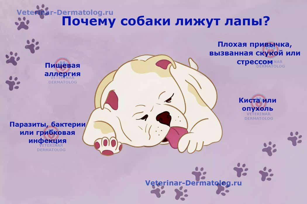 Почему собака лижет лапы?