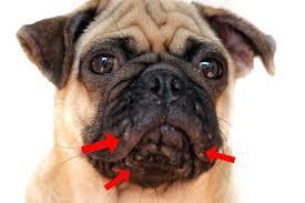 Диагностика прыщей у собак